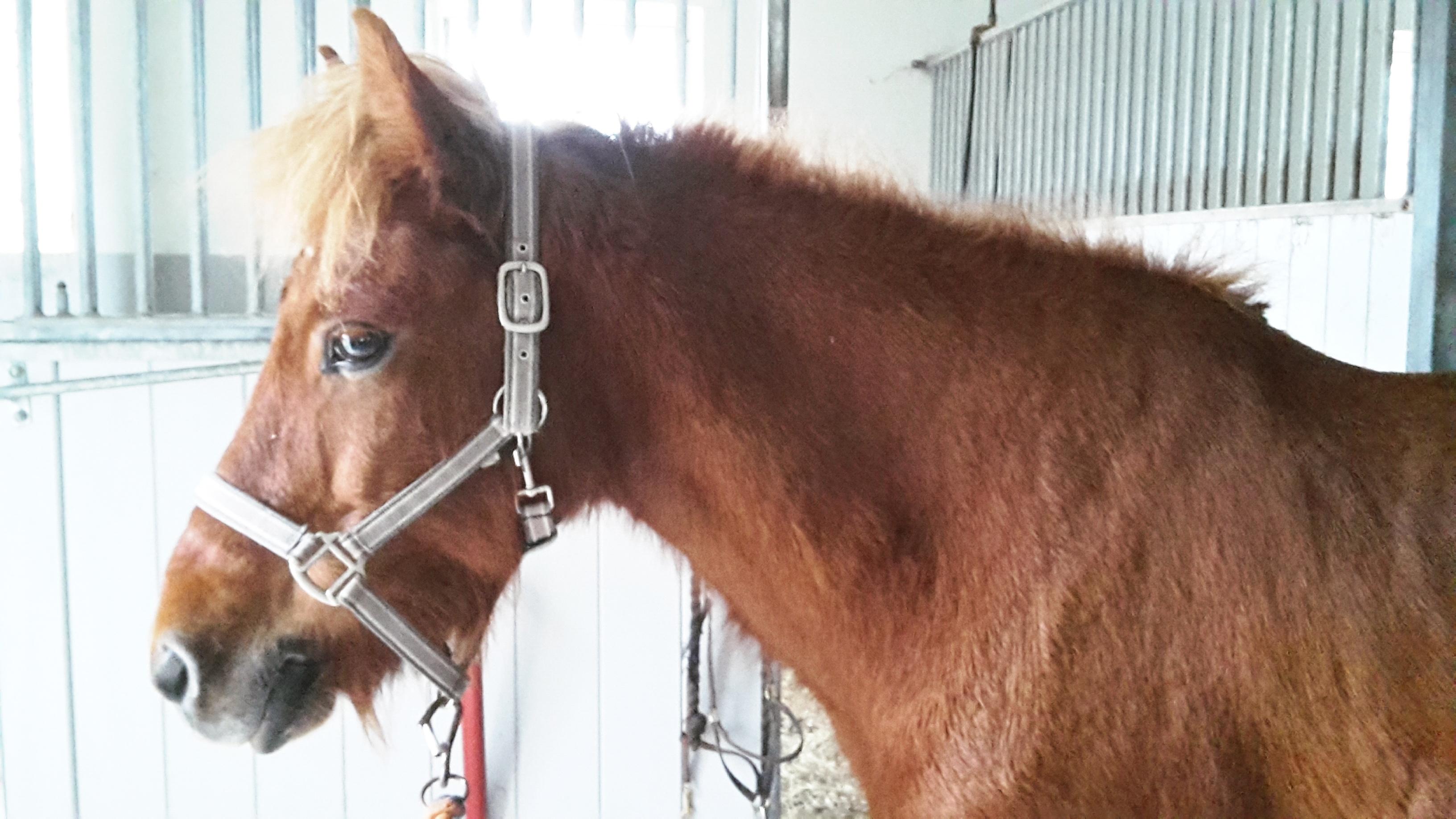 Muskelsättning på ovansidan halsen är ett tydligt tecken på att hästen börjat stärka överlinjen.